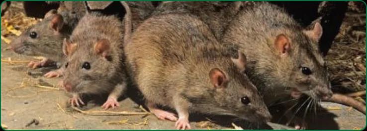 Дератизация крыс цена
