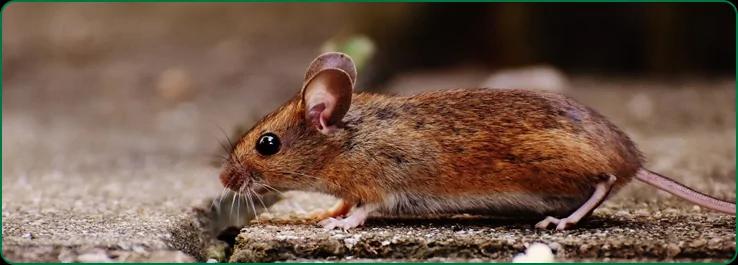Дератизация от мышей